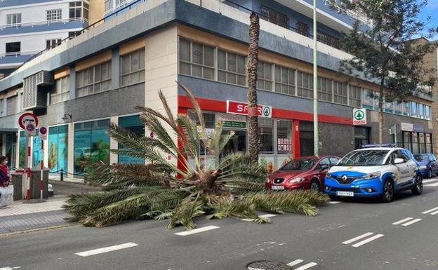 Susto con la caída de una palmera en la capital grancanaria